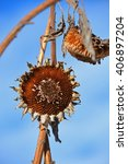 Small photo of Sunflowers - Winter Survivors -Still Standing After all of This Time