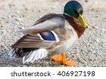mallard duck | Shutterstock . vector #406927198