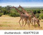 Giraffes In Masai Mara Nationa...