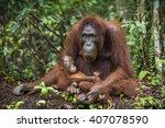 A Female Of The Orangutan With...