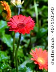 Beautiful Gerbera Flower In...