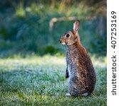 1 Wild Common Rabbit ...