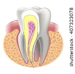 medical structure of the tooth  ... | Shutterstock . vector #407323078