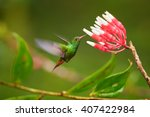 Small photo of Beautiful, golden-orange tailed hummingbird, Amazilia tzacatl, Rufous-tailed hummingbird feeding on nectar from cluster of small red and white flowers against blurred forest background. Colombia.