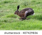 Stock photo european brown hare lepus europaeus running fast in lush grassland 407429836