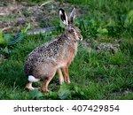 alert european brown hare ...   Shutterstock . vector #407429854