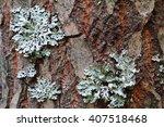 Lichen  Hypogymnia Physodes...