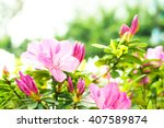 Azalea  Pink Azaleas In The...