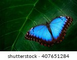 Blue morpho  morpho peleides ...