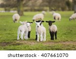 Young Baby Spring Lambs And...