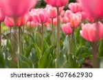 pink tulip   Shutterstock . vector #407662930