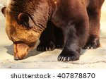 brown bear sniffing ground ... | Shutterstock . vector #407878870