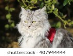 Persian Cat With Harness In...