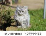 Persian Cat In Garden In The...