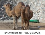 Zoo Animals  Camel  Almaty ...