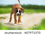 Stock photo boxer puppy with dandelion 407971570