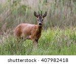 alert male european roe deer ... | Shutterstock . vector #407982418