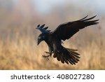 Bird   Flying Black Raven ...