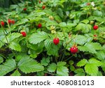 Ripe Red Fruits Of Strawberry...