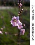 peach blossom   Shutterstock . vector #408160744