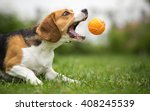 Small photo of Playing fetch with agile Beagle dog
