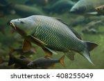 wild common carp  cyprinus... | Shutterstock . vector #408255049