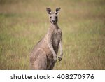 Eastern Grey Kangaroo With Ears ...