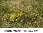 Small photo of Frog (Ranidae) sitting in the grass waiting for prey, side view