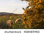 gorse or furze  sheep grazing... | Shutterstock . vector #408485983