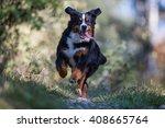 Swiss Bernese Mountain Dog...
