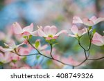 Branch Of Eastern Pink Dogwood...