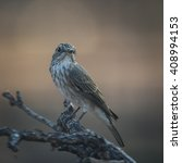 spotted flycatcher perched on a ... | Shutterstock . vector #408994153