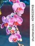 Small photo of Violet Hybrid Vanda orchid