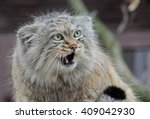 Small photo of wild cat manul makes a funny face with wide open eyes and mouth