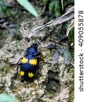 Small photo of Ground beetle (Coleoptera, Carabidae)