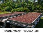 Organic Cocoa Beans Sun Drying...