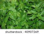 large leaf basil | Shutterstock . vector #40907269