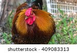 Colorful Rhode Island Red...