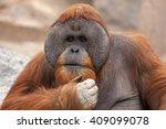 Bornean Orangutan  Pongo...