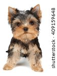 Stock photo small and cute puppy of the yorkshire terrier on white 409159648