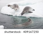 crabeater seals on the ice. | Shutterstock . vector #409167250