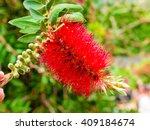 Melaleuca Citrina  Red Flower