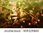 cherries on the tree branch in... | Shutterstock . vector #409229800