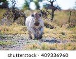 A Black Rhino Walking Up  Ears...
