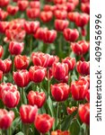 field of red tulips in summer... | Shutterstock . vector #409456996