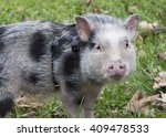 Pot Bellied Pig In Grass