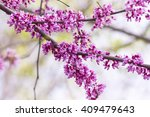 eastern redbud tree flowering... | Shutterstock . vector #409479643