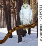 Snowy Owl  At  Forest In Winte...