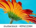 macro image of orange gerbera... | Shutterstock . vector #409612384