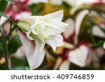 White Lilly From Park